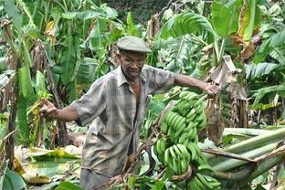Dominican Republic bananas