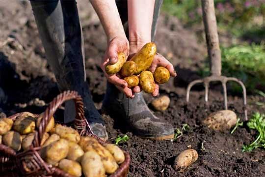 Greece potato