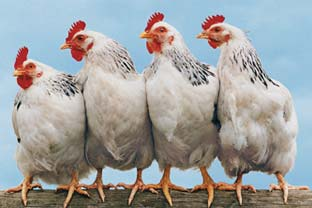 India poultry
