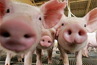Brazil pigs