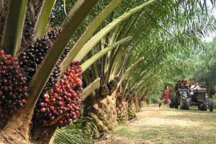 Palm oil tree Africa