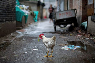China poultry industry