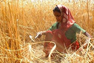 India wheat